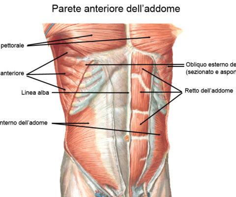 L'azione muscolare durante la respirazione
