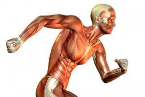 Le fibre muscolari